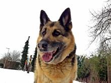 Close-up Of German Shepherd In Winter