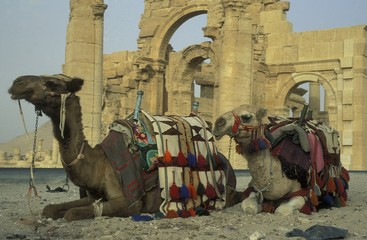 Camels Relaxing Against Old Ruins At Desert