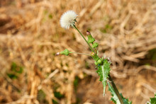 Spiny Sow Thistle White Puff Bloom (Sonchus Asper) Plant Growing In Texas