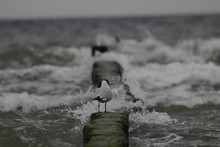 Black-headed Gull Perching On Wooden Post In Sea