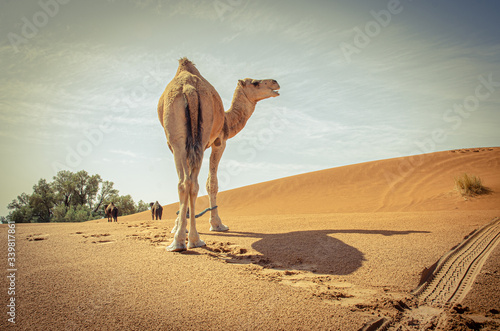 Fotografering Caravan of camels in Sahara desert, Morocco