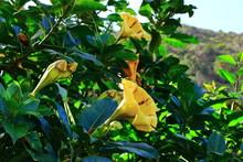 Solandra Maxima Flower From La Gomera, Canary Islands