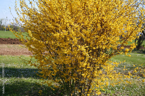 Fotografia Forsythia bush with many yellow flowers on a sunny day in the garden on springti
