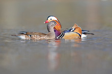 Male And Female Mandarin Ducks Flirting With Each Other In A Pond In The Park.  Photographed From A Low Angle In The City Of Berlin.