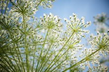 Low Angle View Of Queen Annes Lace Growing Against Sky