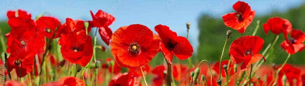 Red poppy flowers in a field. Poppies meadow - obrazy, fototapety, plakaty
