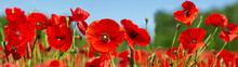 Red Poppy Flowers In A Field. ...