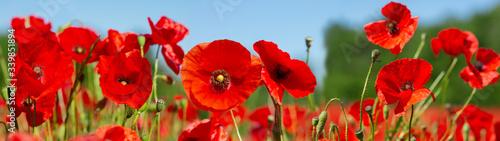 Obraz Red poppy flowers in a field. Poppies meadow - fototapety do salonu