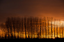 Poplars In The Sunset
