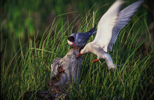Terns With Young Bird On Grassy Field