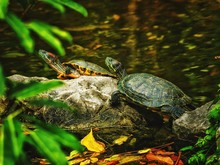 High Angle View Of Turtles On Rock By Pond