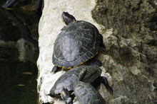 Turtles On Rock By Pond