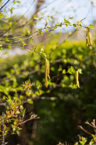 Kwiaty brzozy na gałązkach kwitnące wiosną  - 339872021