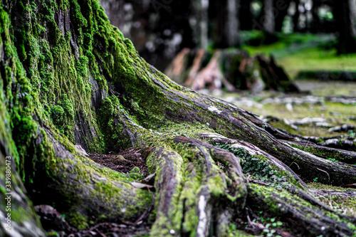 Fototapeta 苔の生えた木の根