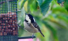 Close-up Of Carolina Chickadee On Bird Feeder