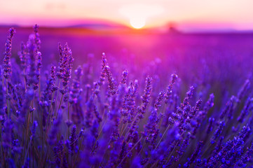 Fototapeta Kwiaty Lavender flowers at sunset in Provence, France. Macro image, selective focus. Beautiful summer landscape