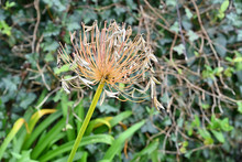 Agapanthus Flower Gone To Seed