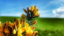 Close-up Of Gorse Growing Outdoors