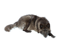 A Lone Black Wolf Isolated On White Background Resting In The Winter Snow In Canada