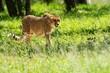 canvas print picture - Cheetah walking on the savanna.