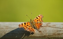Beautiful Close Up Of A Comma ...
