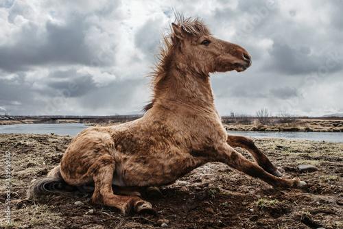Icelandic horse en libertad en Islandia cercano a un río levantándose del suelo Canvas Print