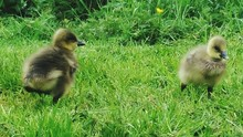 Goslings On Grassy Field