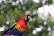 Side View Of Scarlet Macaw