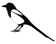 Magpie Bird Vector Isolated On White Background
