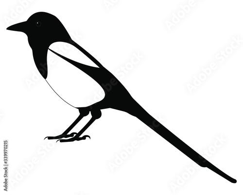 Fototapeta magpie bird vector isolated on white background