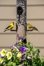 Finches Feeding On Backyard Feeder With Flowers