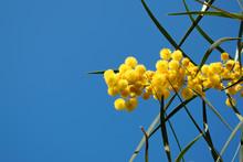Blossoming Of Mimosa Tree (Aca...