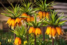 Crown Imperial (Fritillaria Im...