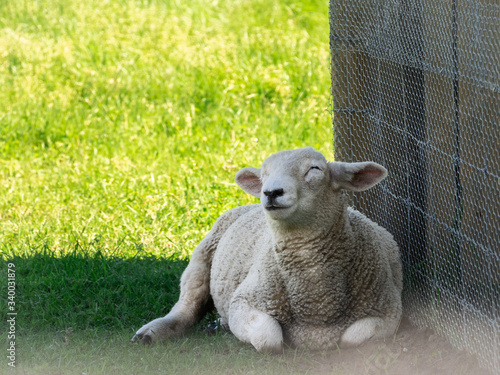 Fotografie, Tablou Young sheep / lamb lying in shade, relaxing during sunny summer day, shot made i