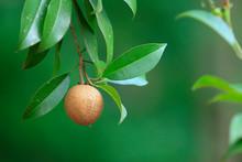 Fresh Chikku, Sapodilla Fruit Isolated On Green Background