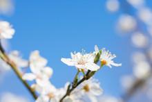 Blooming Wild Plum Tree Closeup. Spring White Flowers. Plum-tree Branch With White Flowers