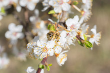 A Bee Collects Nectar On A White Wild Plum Blossom