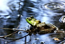 Close-up Of Green Frog In Shallow Water