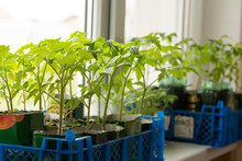 Fresh Tomato Seedlings On The ...
