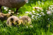 Goslings On Grassy Field