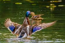 Close-up Of Mallard Ducks Flapping Wings On Lake