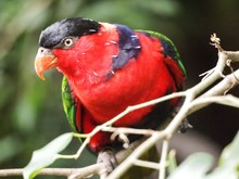 Black-capped Lory Perching On Branch