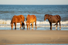Three Horses With White Diamonds Drinking From The Ocean On A Beach At Corolla, North Carolina