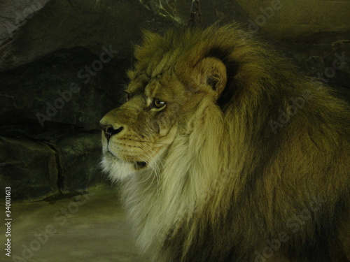 Lion Resting In Cave