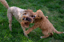 Two Goldendoodles Play Fightin...