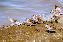 A Group Of Least Sandpipers (Calidris Minutilla) Looking For Food On The Muddy Shores Of South San Francisco Bay Area, Sunnyvale, California