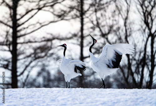 Fototapeta Enjoying a family of Red-crowned cranes obraz
