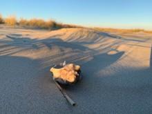 Knobbed Whelk In Sand On Beach At Sunset