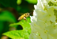 Close-up Of Bee Pollinating On...
