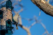 Female House Finch At The Bird Feeder